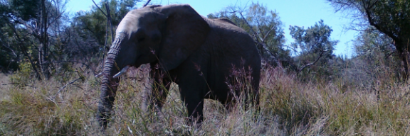 Elephant at Pilanesberg National Park, South Africa